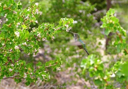 Hummingbird in Trail Canyon