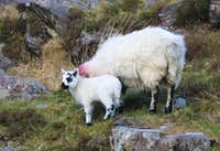 Sheep of Dunloe