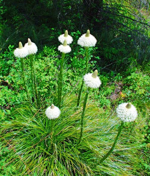 Bear Grass in Bloom