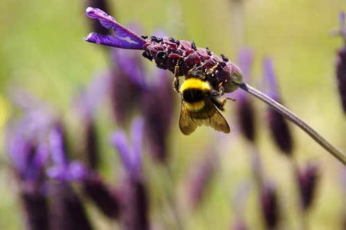 Anthophora parietina on Spanish Lavender