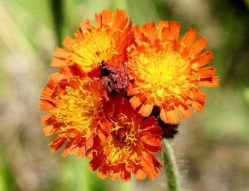 Devils Paintbrush (Orange Hawkweed)