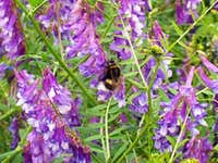 Bumble Bee on Tufted Vetch
