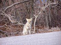 Mesa Verde Coyote