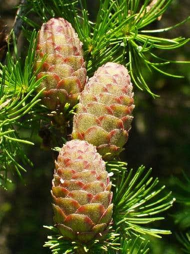 Pine Cones of European Larch Tree