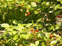 Wild cherry fruits (Vadcseresznye)