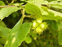 Growing hazelnuts (Növekvõ mogyorószemek)