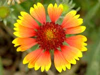 Firewheel Blanketflower