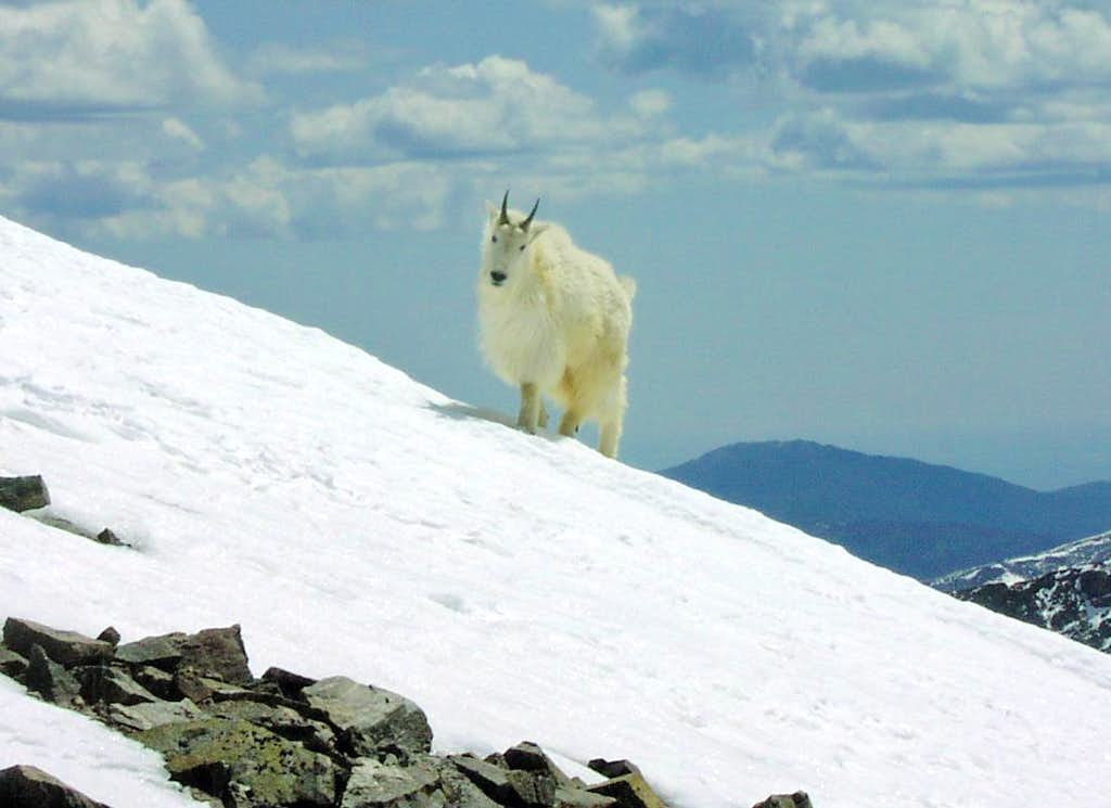 Mountain goat on Torreys Peak