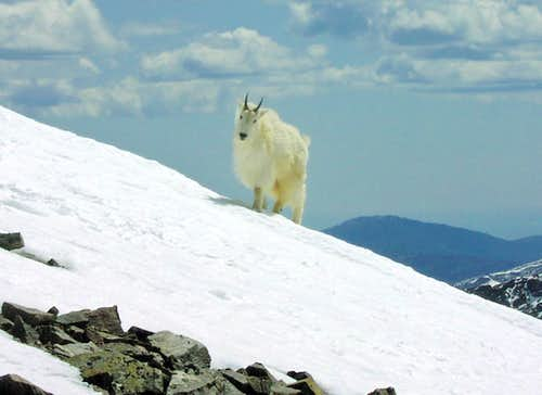 Mountain goat on Torreys Peak