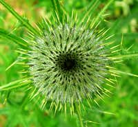 Spear Thistle <b><i>Cirsium vulgare
