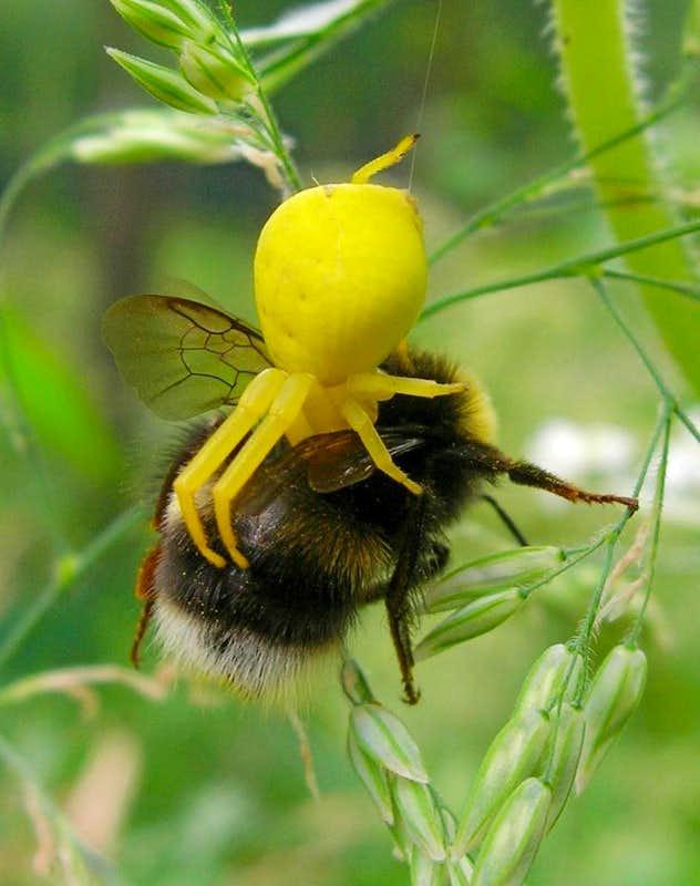 crab spider kills bumble bee photos diagrams u0026 topos summitpost