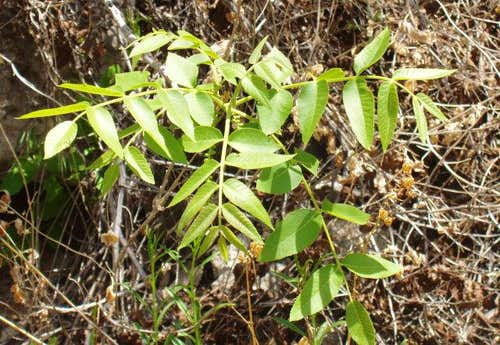 Walnut Tree Leaves