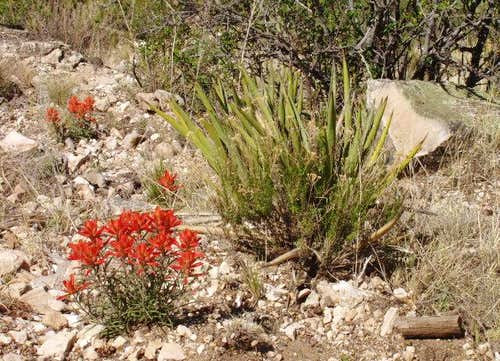 Beautiful Indian Paintbrush