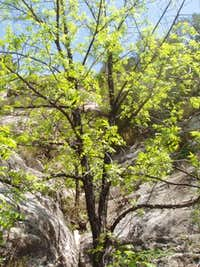 Walnut Tree in Walnut Canyon