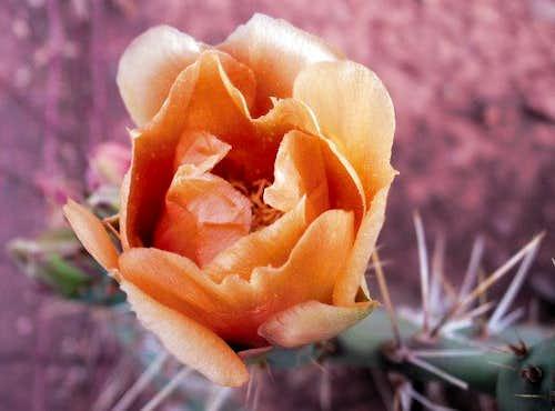 Peach Cactus Bloom