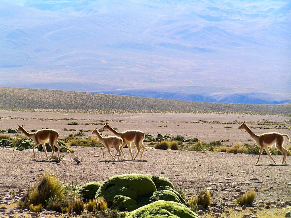 Vicuñas, on the High Plain
