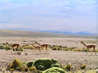 Vicuñas, on the High Plain