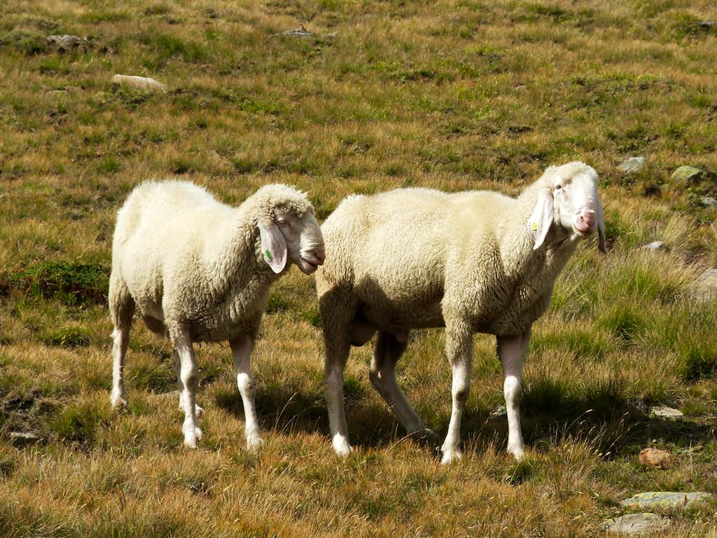Sheep near Vent
