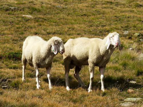 Sheep near Vent