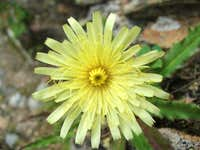 Hieracium intybaceum