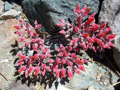 Dudleya full bloom