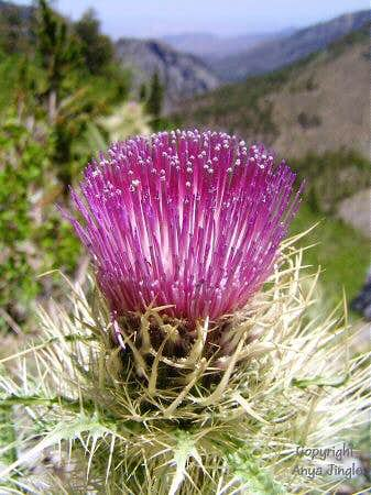 Red Thistle on route to Charleston Peak