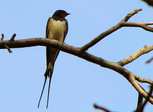 <a href=http://www.summitpost.org/image/301943/283408/swallow-hirundo-rustica-ii.html>Kindest bird ever</a>