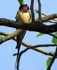<a href=http://www.summitpost.org/image/301938/283408/swallow-hirundo-rustica.html>Swallow - Hirundo rustica II</a>