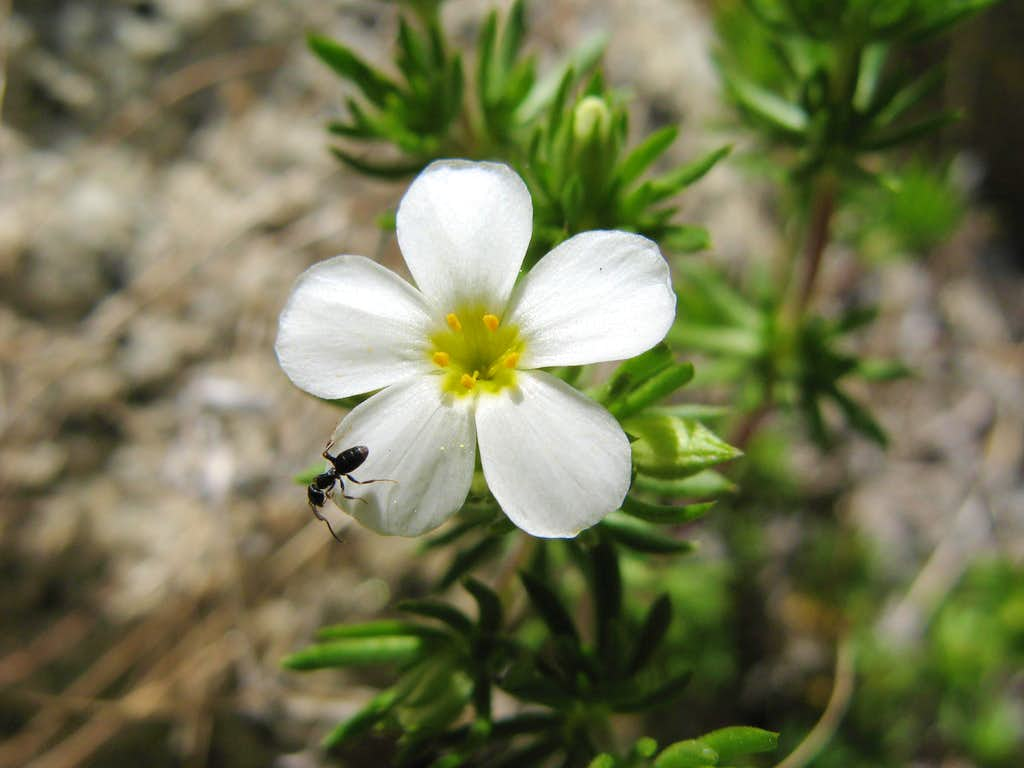 Nuttall's Linanthus, Linanthus nuttallii
