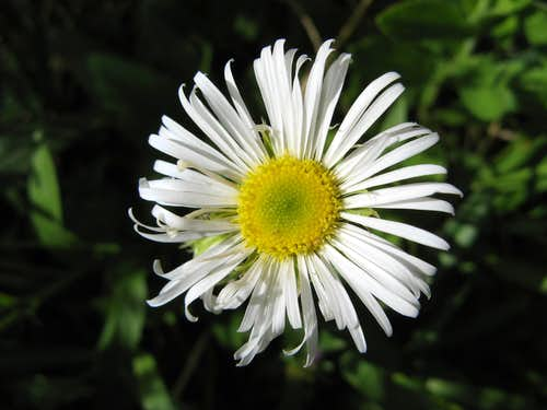 Coulter's Daisy, Erigeron coulteri
