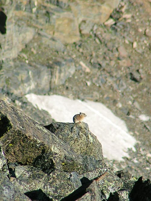 Mount Ouray Pika