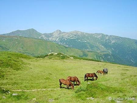 Horses in Rodnei Mountains