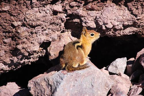 This is Lassen Peak\'s Buster the attack squirrel\'s friendlier cousin, Nutty