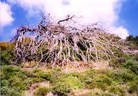 A very peculiar tree at the slopes of Mt.Penteli