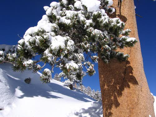 Fresh Snow on Lodgepole