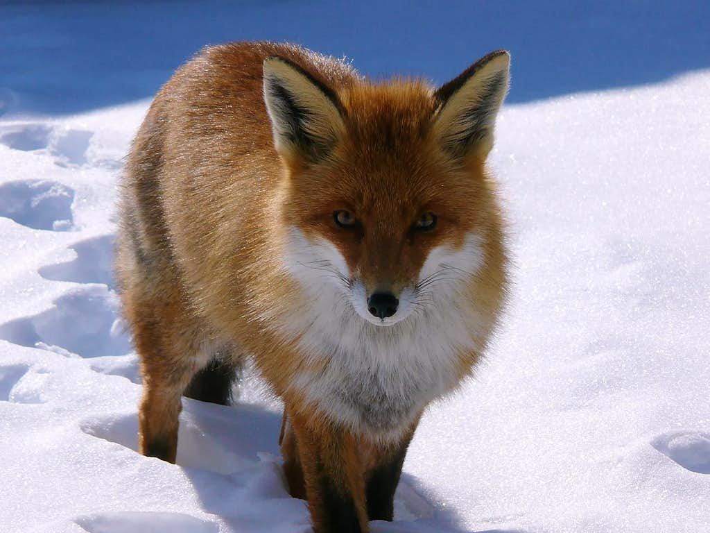 The Fox (Gran Paradiso)