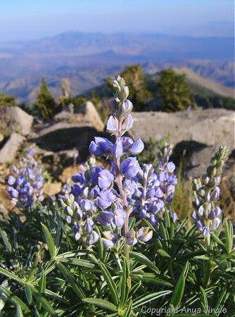 Lupine on top of Griffith Peak