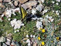 Butterfly on Wheeler