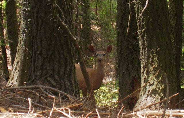 Deer in the Packsaddle Grove