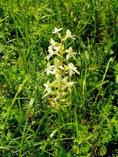 Butterfly Orchid.