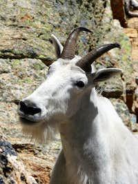 Liberty Bell Goat