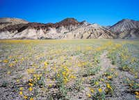 Wildflowers & Death Valley Eroded Badlands