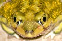 Señor(ita) Frog