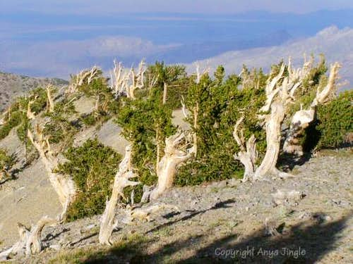 Bristlecone Pines on Griffith Peak