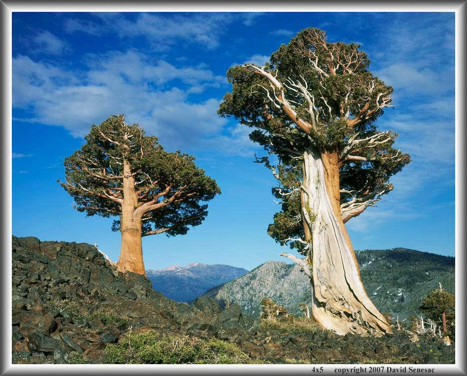 Juniper trees photo albums summitpost for The juniper