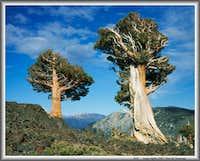 Sierra junipers & Freel Peak