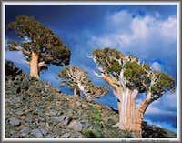 Sierra junipers & cumulus