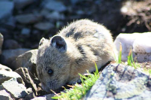 Pika on Wheeler Peak