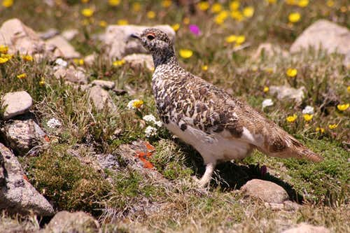 Ptarmigan on Mount Elbert
