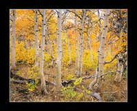 Twisted Red Aspen Grove